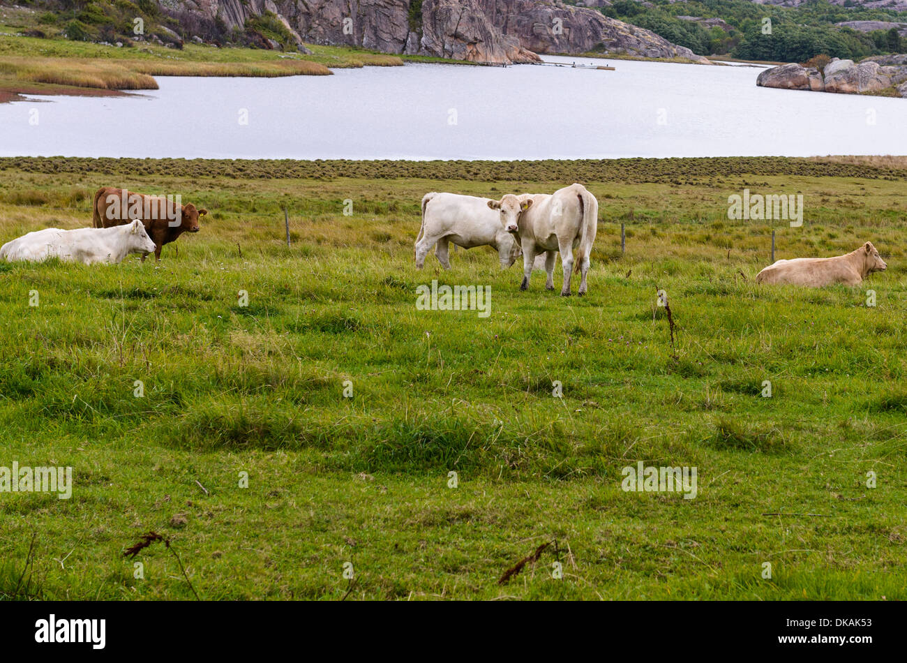 Cows with water in the background - Stock Image