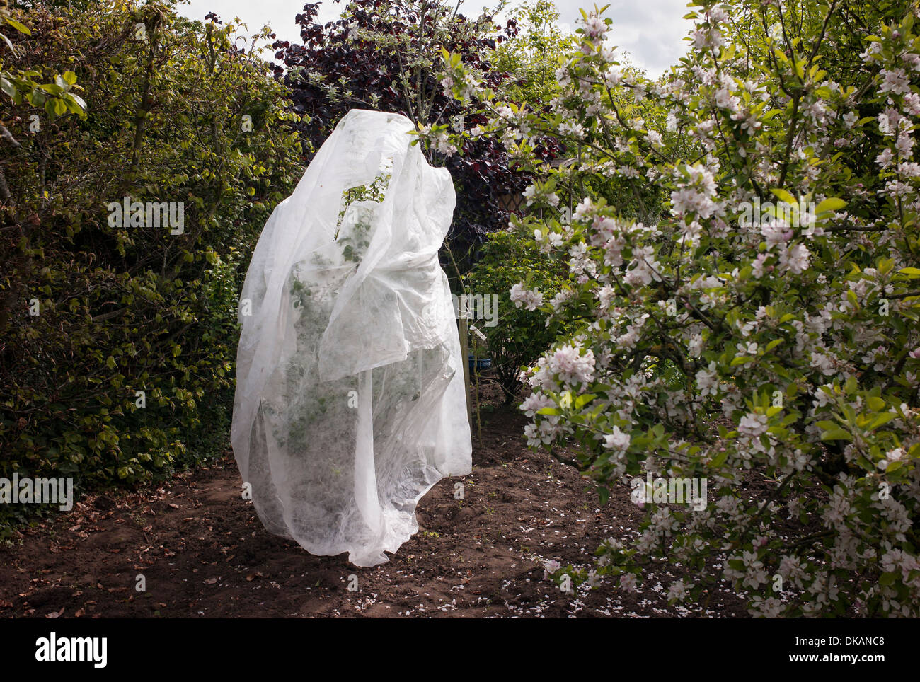 Shrouded newly planted young fruit tree protected from possible overnight frost in UK - Stock Image