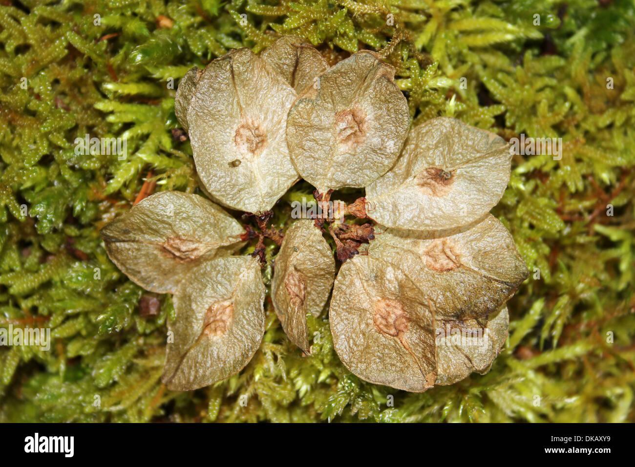 Wych Elm Seeds Ulmus glabra - Stock Image