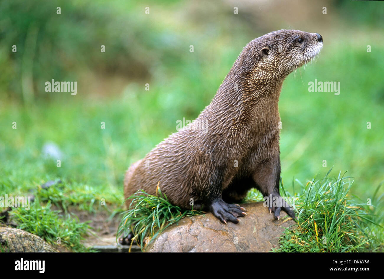 North American river otter (Lontra canadensis), northern river otter, common otter Stock Photo