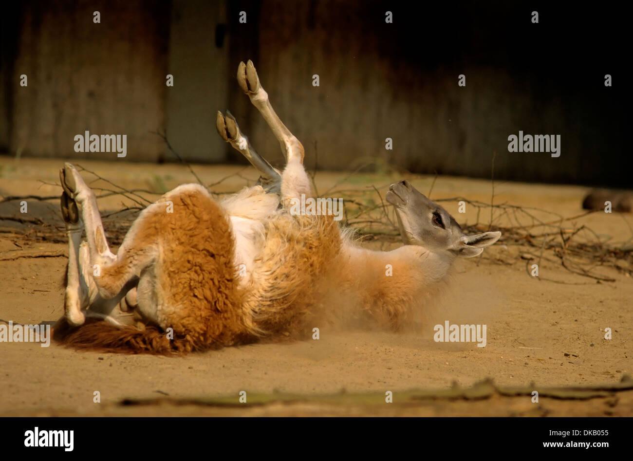 guanaco rolling in the dust, (Lama guanicoe) , Zoo: Guanaco wälzt sich im Staub, Guanako (Lama guanicoe), Huanako - Stock Image