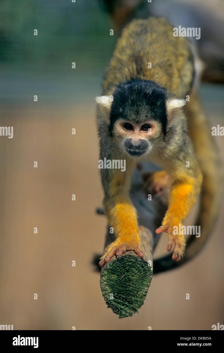 squirrel monkeys Saimiri, Zoo: Totenkopfaffen oder Totenkopfäffchen (Saimiri) Stock Photo