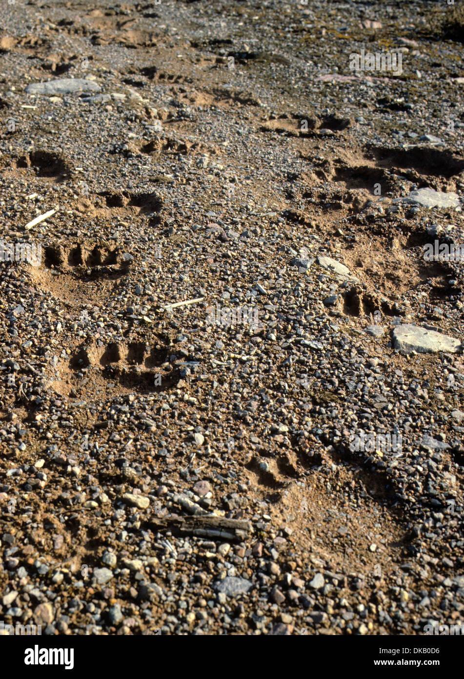 Footprint of the brown bear, brown bear (Ursus arctos), Fußspur des Braunbärs, Braunbär (Ursus arctos) Stock Photo