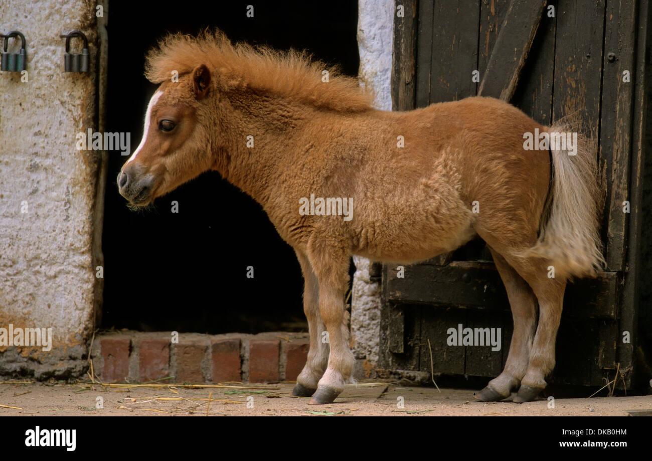 Pony Fohlen, Pony foals - Stock Image