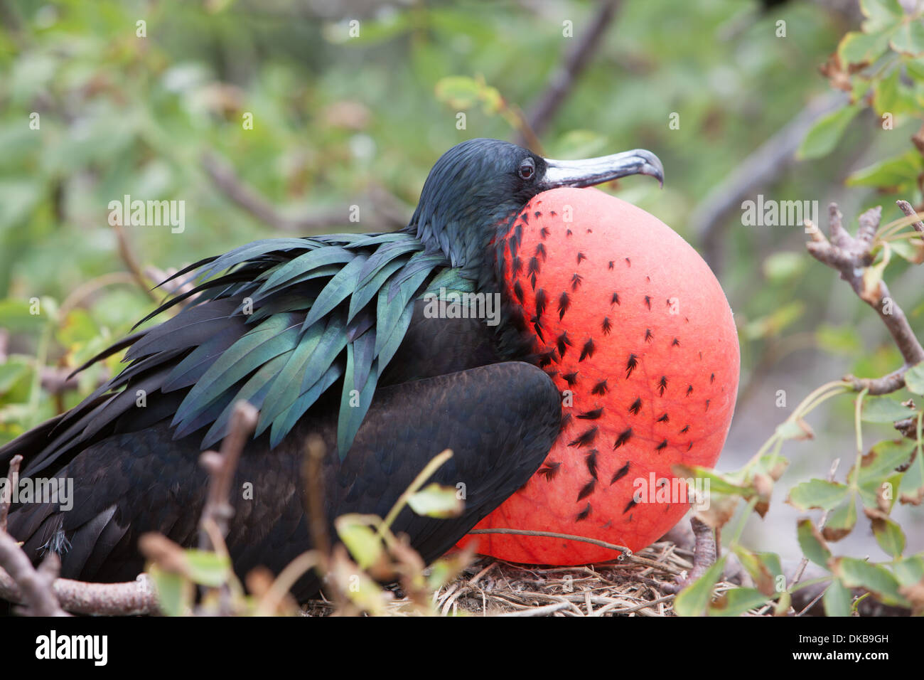 male Frigate bird with inflated gular sac - Stock Image