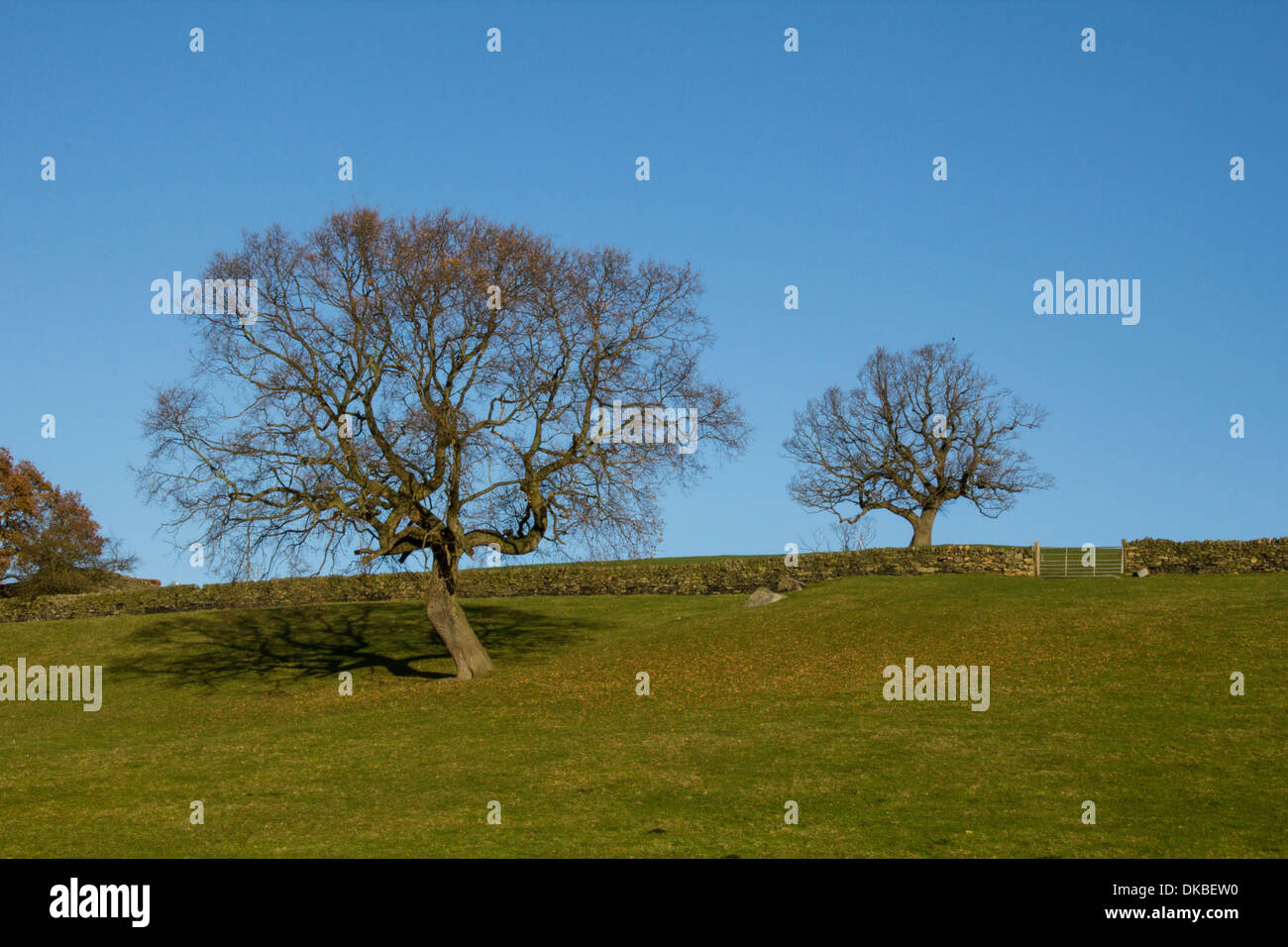 Bare trees across Yorkshire fields, with the traditional and beautiful local stonewalls running through the grazing field. - Stock Image