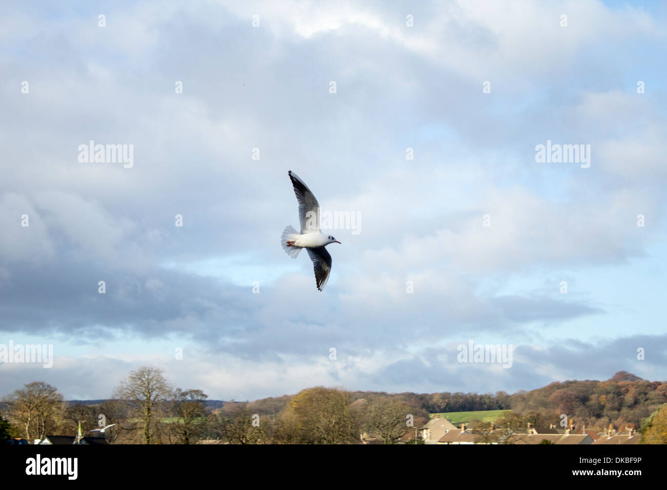 Segal soaring flight over the beauty of Yorkshire Autumn sky Flying above Robert's Park in Saltaire - Stock Image