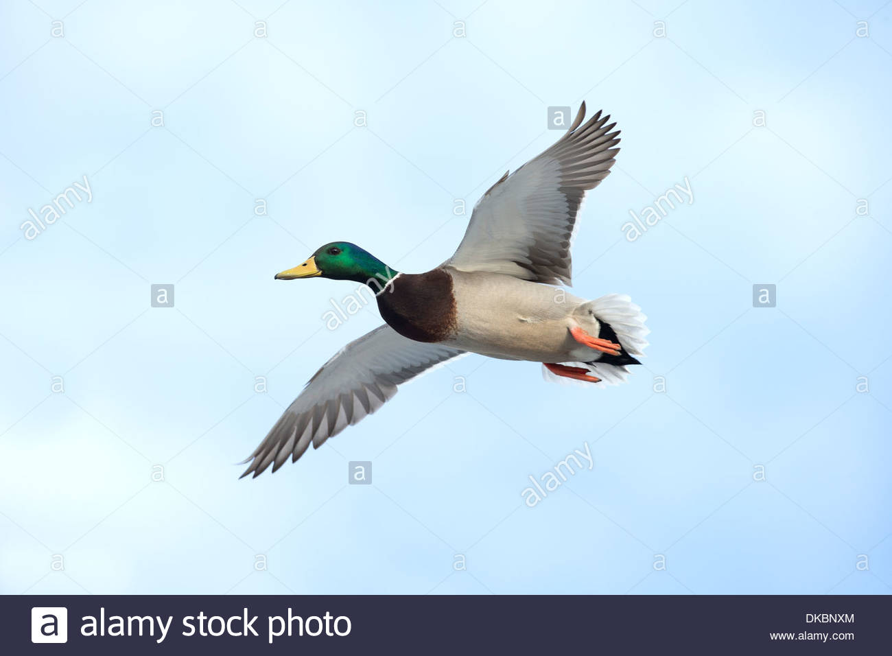 Mallard Duck; Anas platyrhynchos - Stock Image