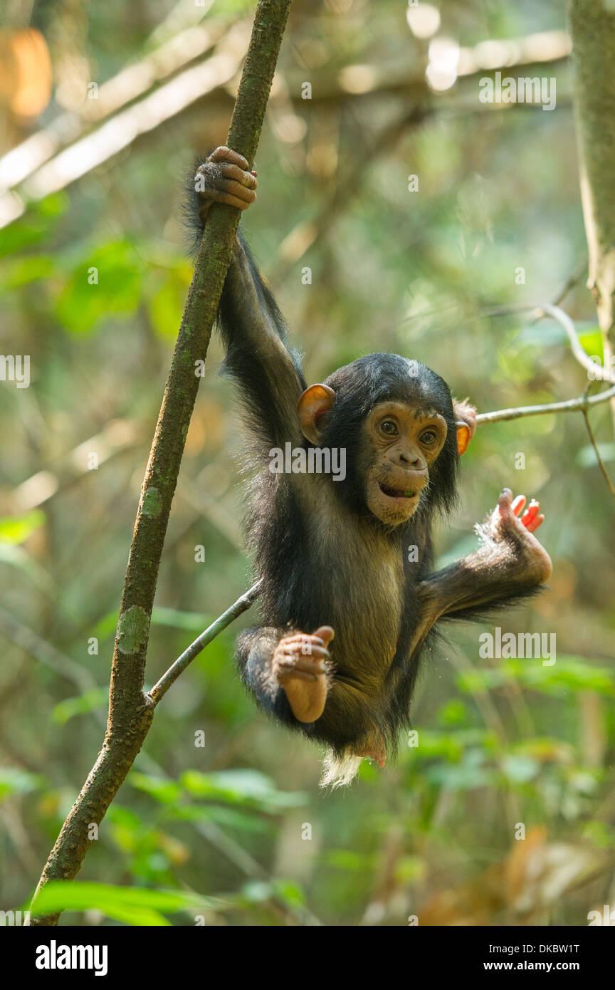 Baby Chimpanzee playing in a tree, Pan troglodytes, Mahale Mountains National Park, Tanzania - Stock Image