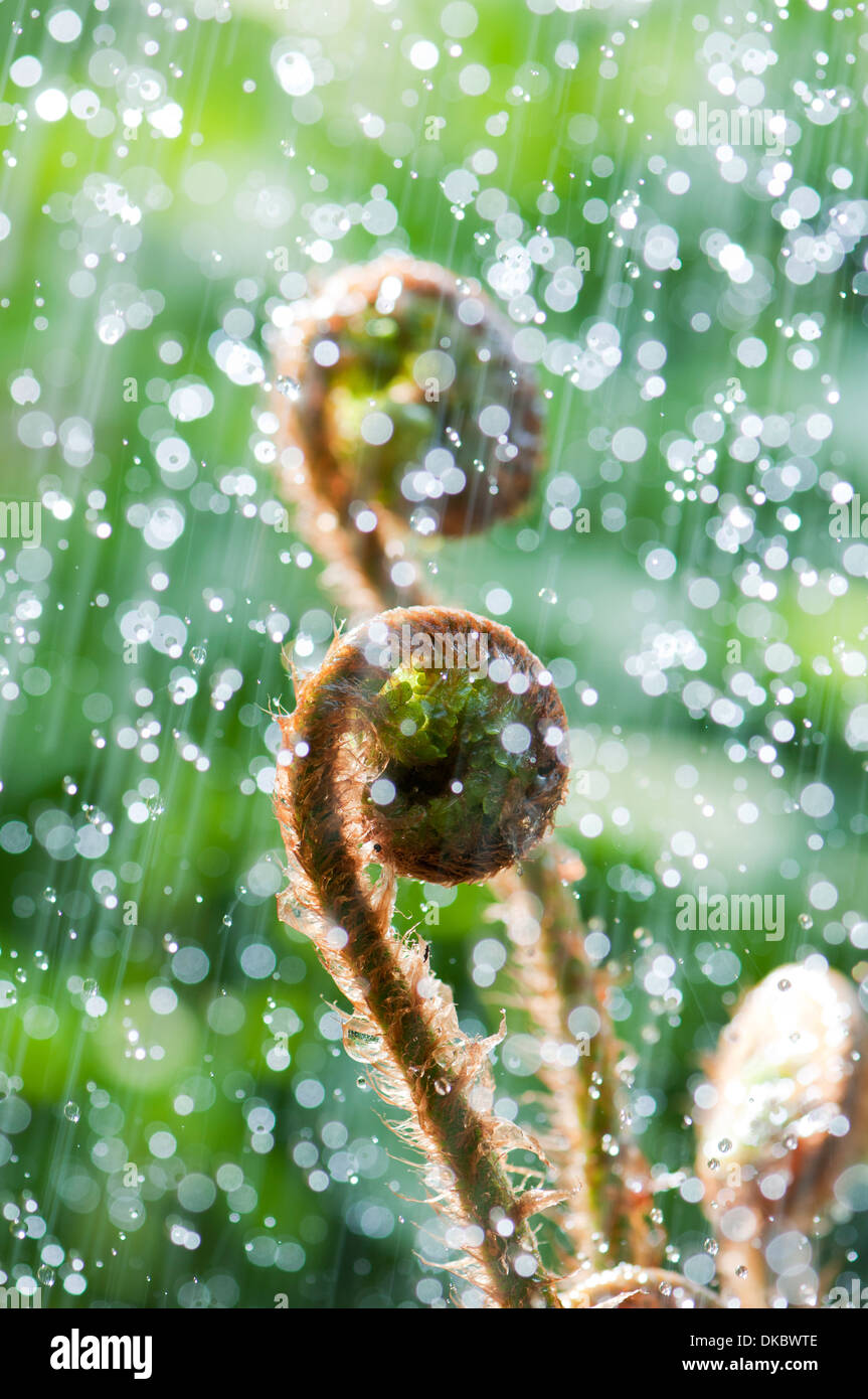 Young curled fern in rain and backlight Stock Photo