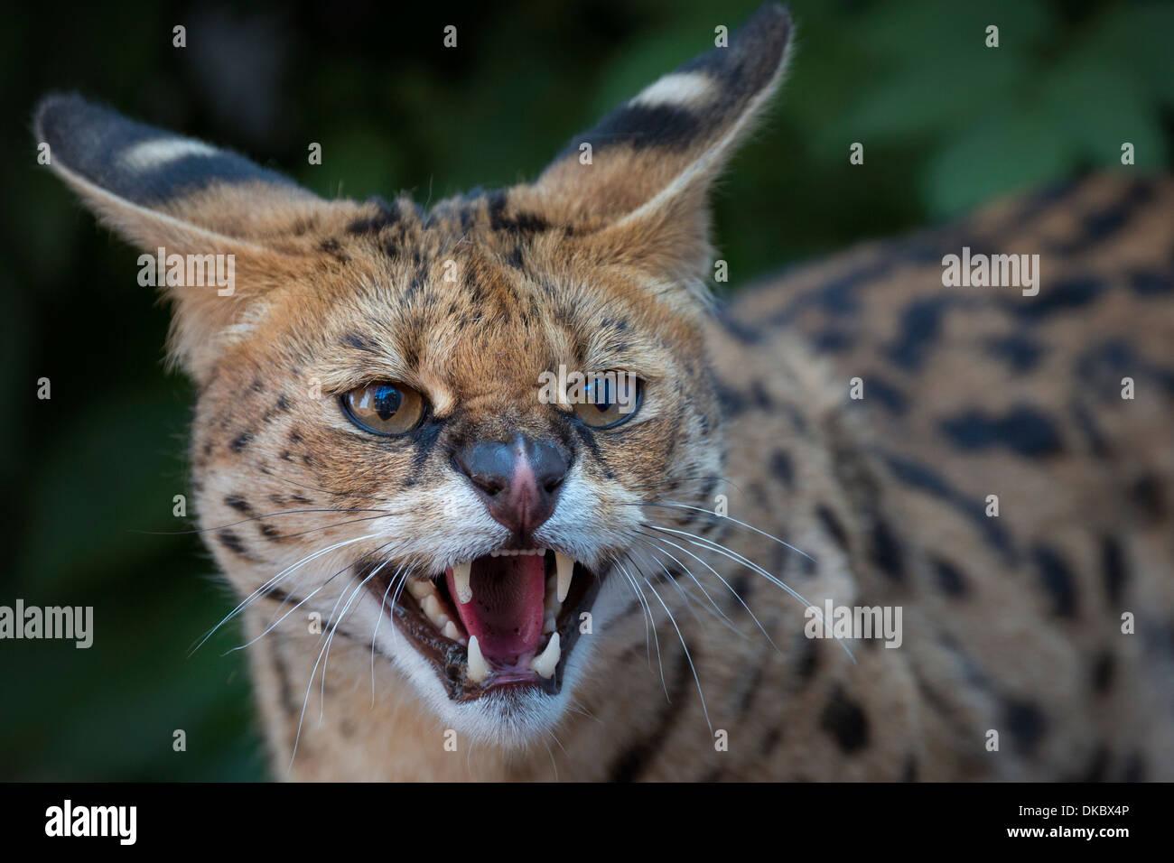 Snarling Serval. - Stock Image
