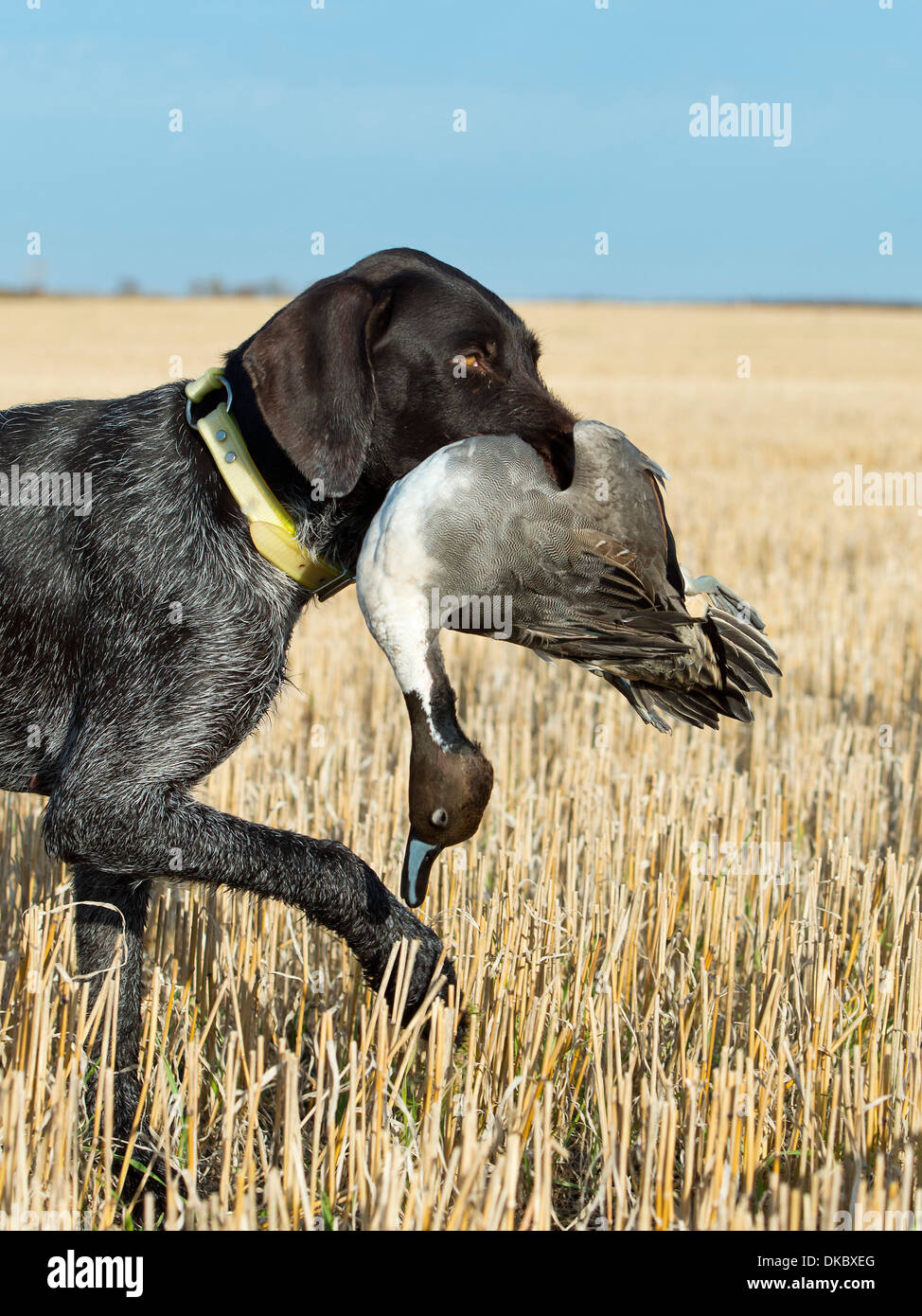 Drathaar Hunting dog with a Drake Pintail Duck - Stock Image