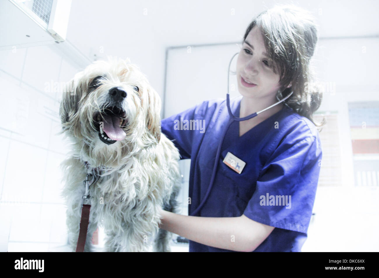 Vet using stethoscope on dog - Stock Image