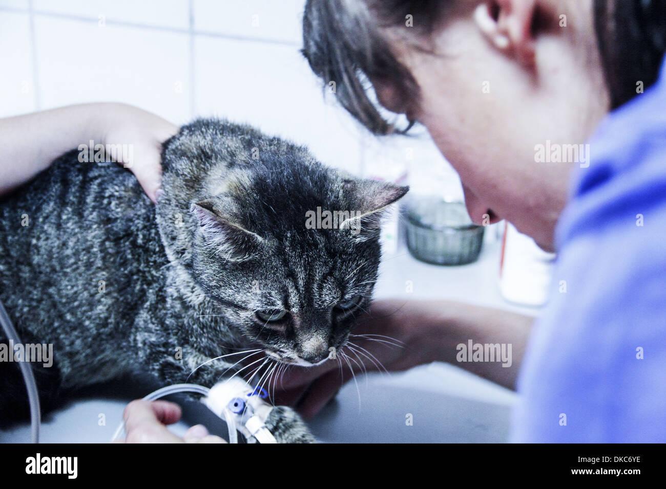 Vet treating domestic cat - Stock Image