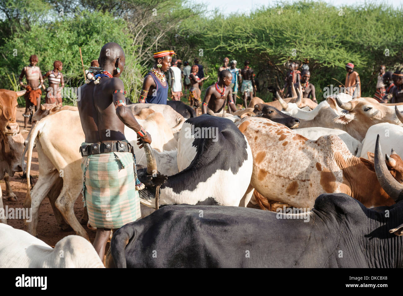 Gathering the cattle for a bull jumping ceremony. A rite of passage from boys to men. Hamer tribe, Omo valley, Ethiopia - Stock Image