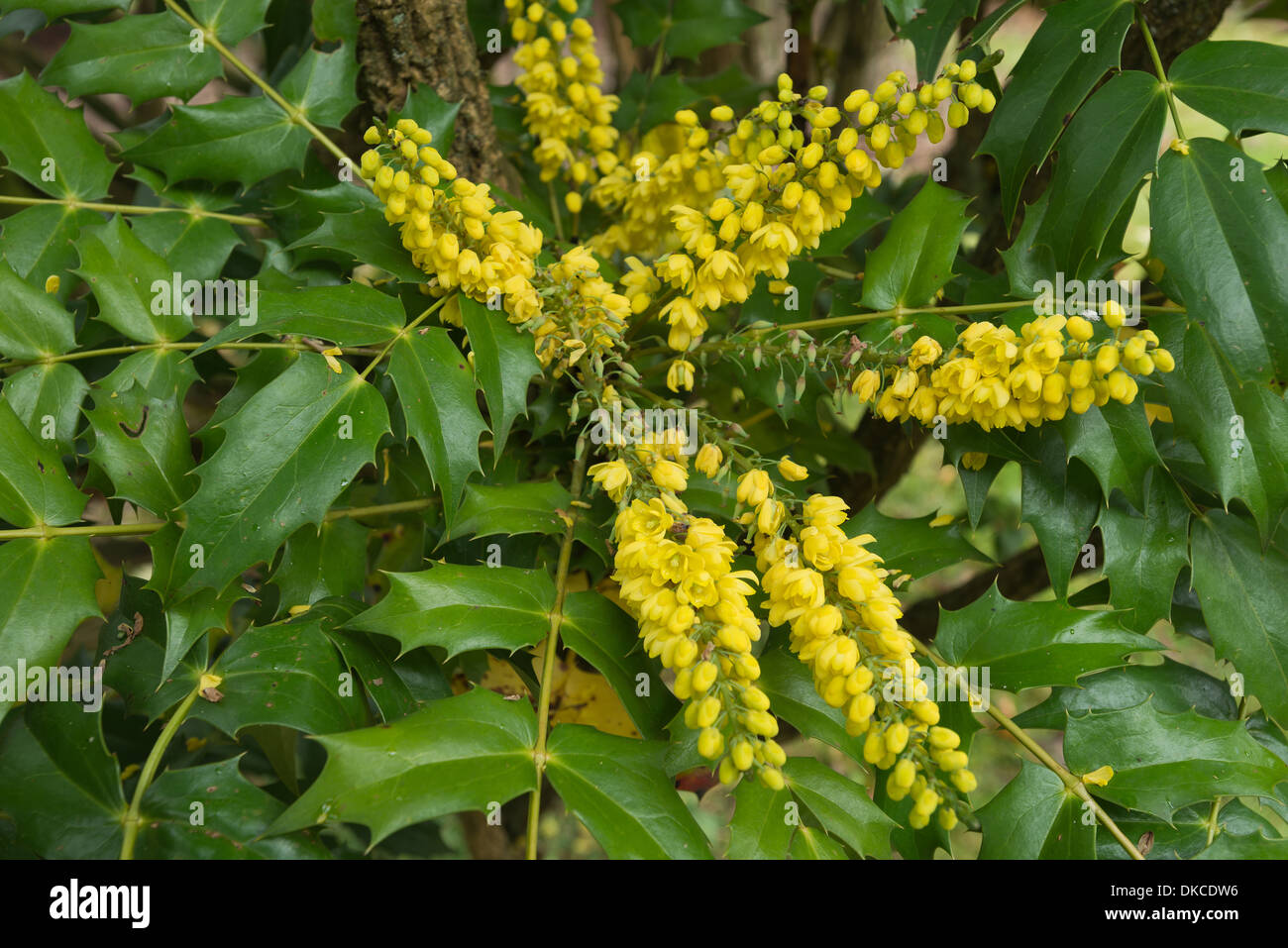 Mahonia Mahonia Flowers Winter Flowering Shrub Yellow Flowers