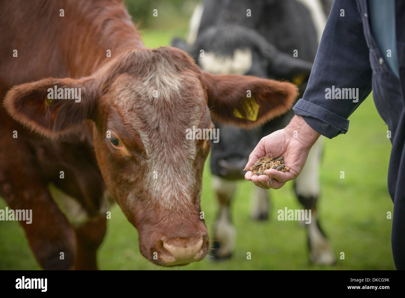 Close up of farmer feeding cattle by hand - Stock Image
