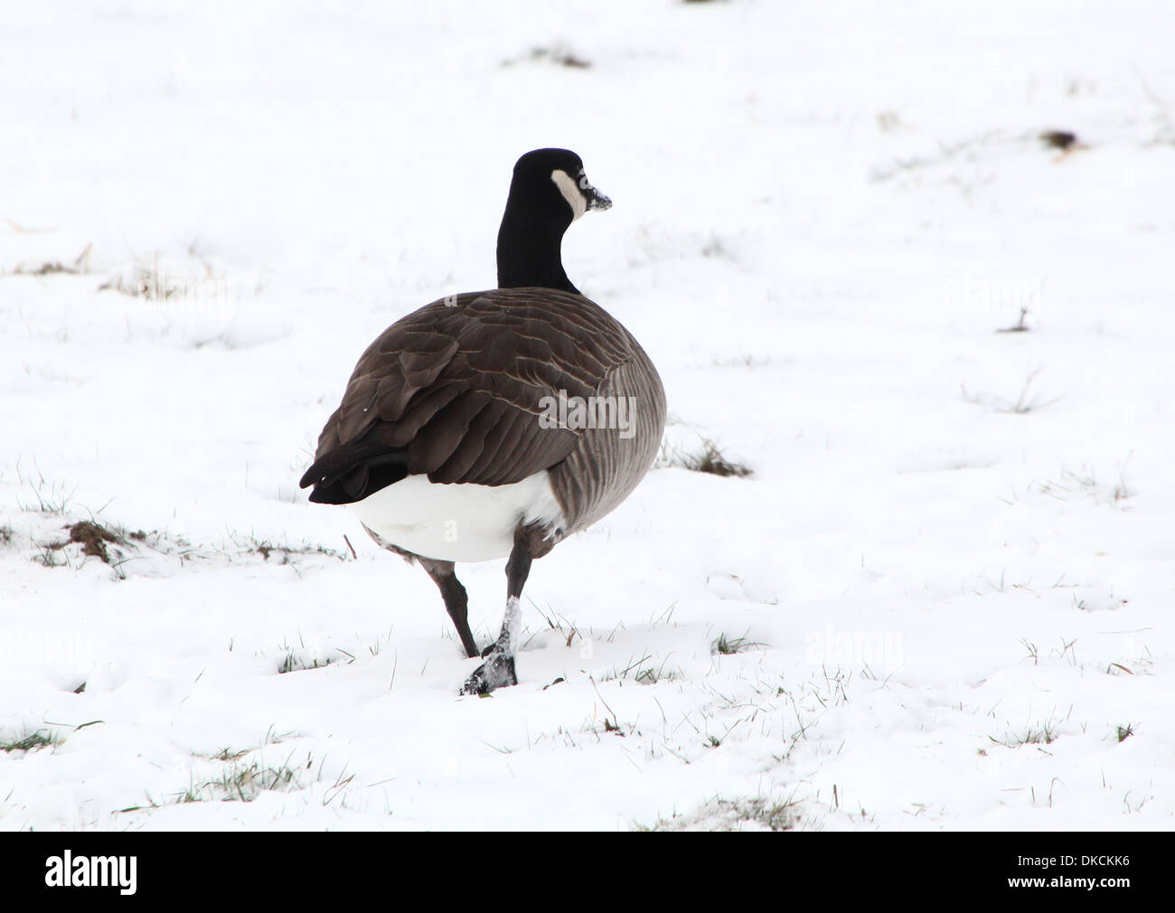 Canada Goose (Branta canadensis) walking away from the camera in  snow setting - Stock Image