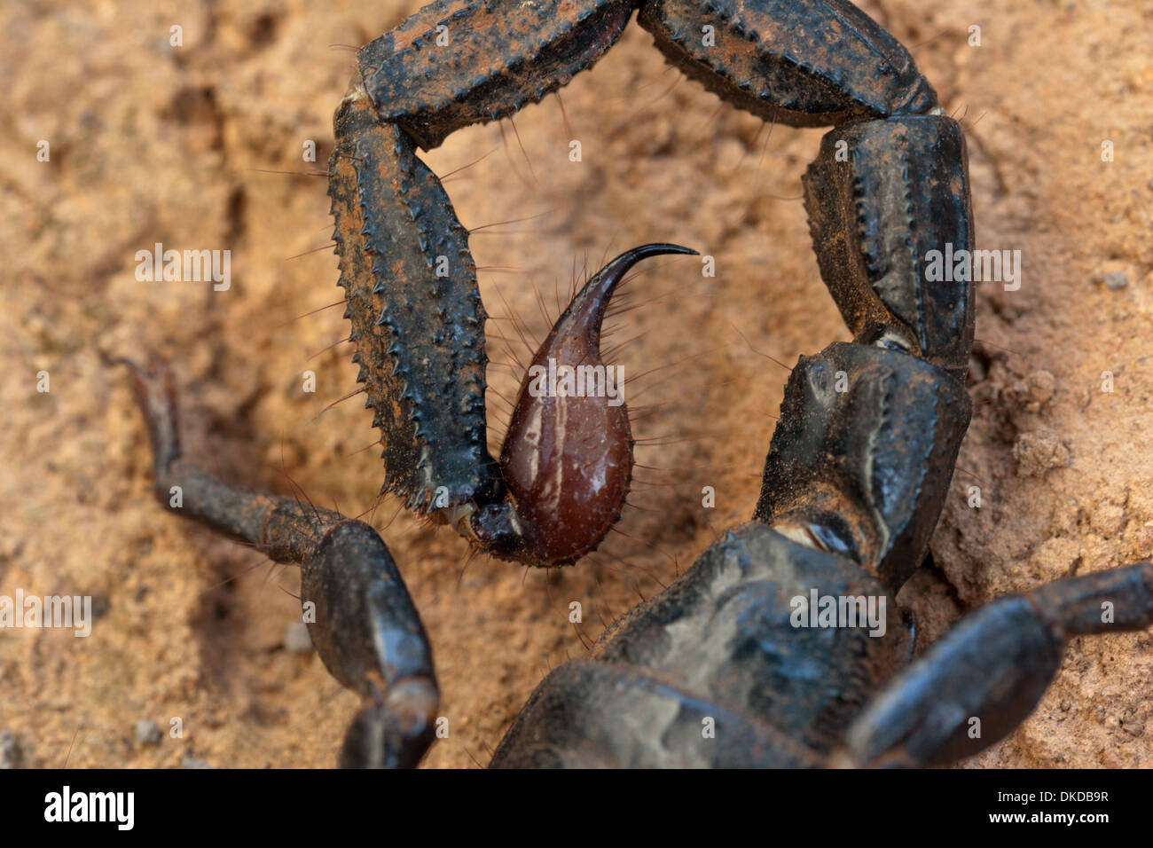 scorpion black poison venom dangerous stinging - Stock Image