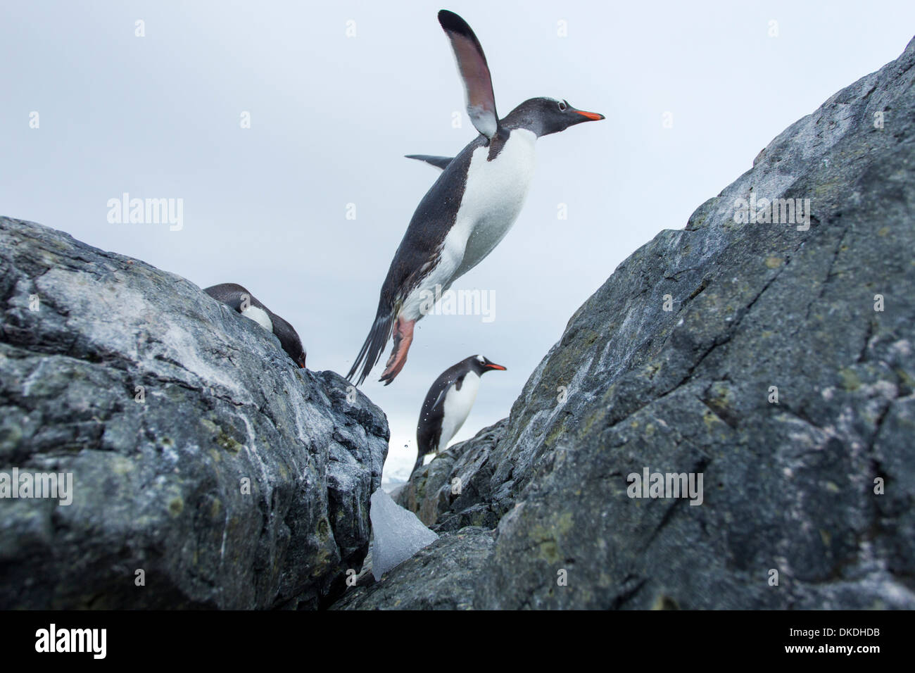Antarctica, Cuverville Island, Gentoo Penguin (Pygoscelis papua) leaping from water onto rocky shoreline - Stock Image