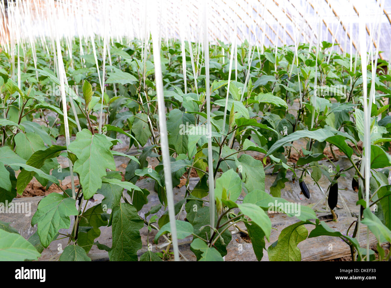 Planting eggplant seedlings and greenhouses in 2018 64