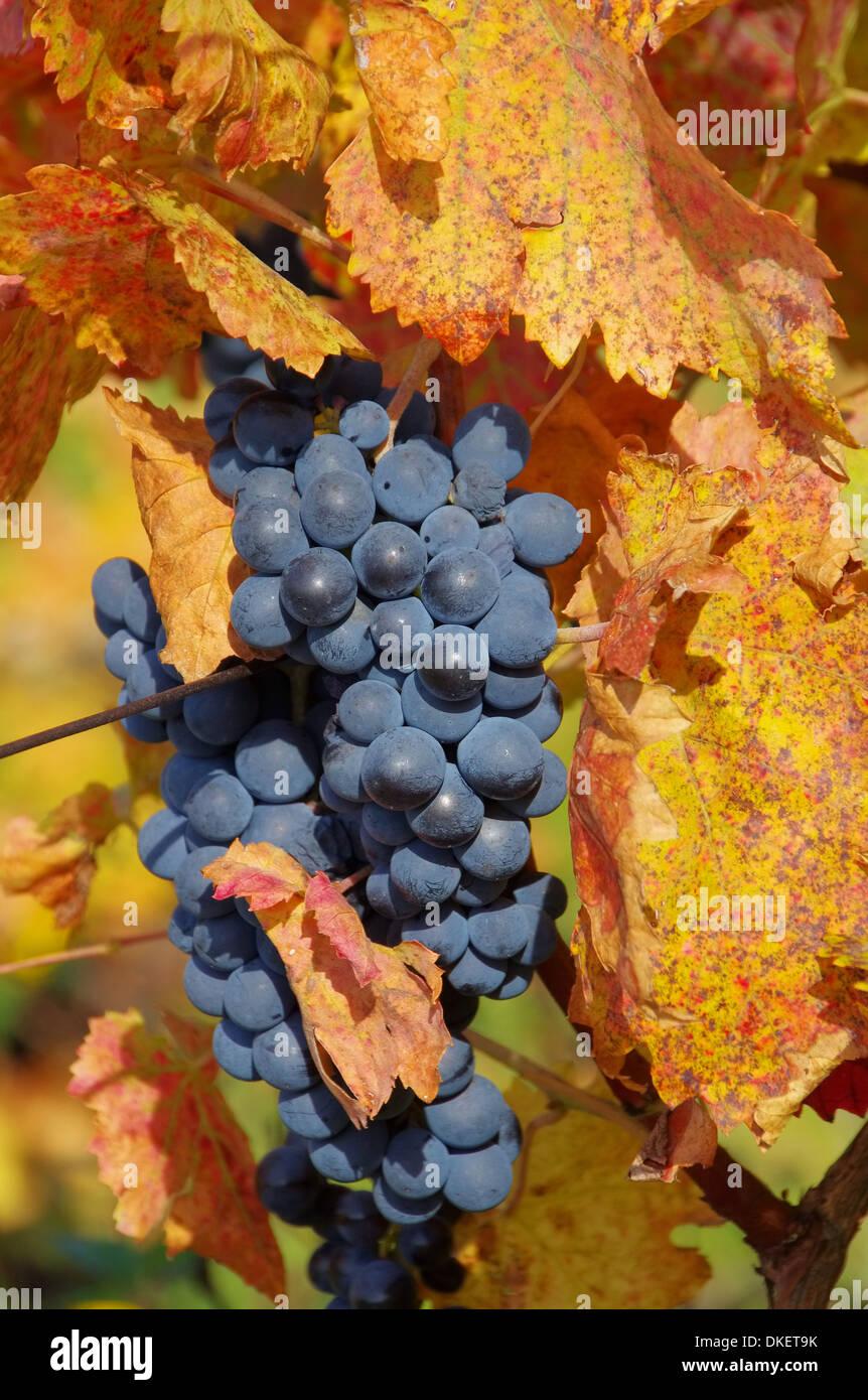 Weintraube rot - grape red 33 Stock Photo