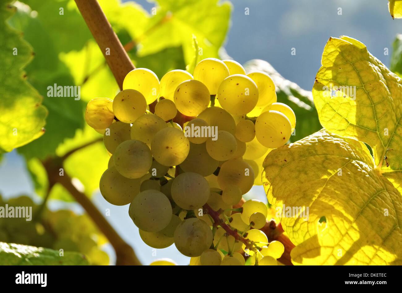 Weintraube weiss - grape white 20 Stock Photo