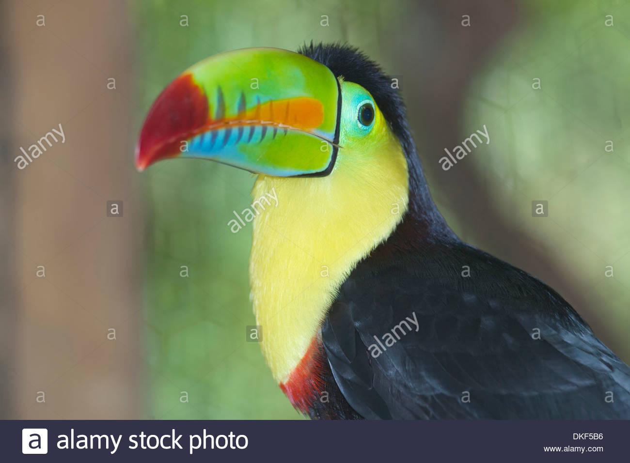 Keel-billed toucan (Ramphastos sulfuratus), San Jose, Costa Rica - Stock Image