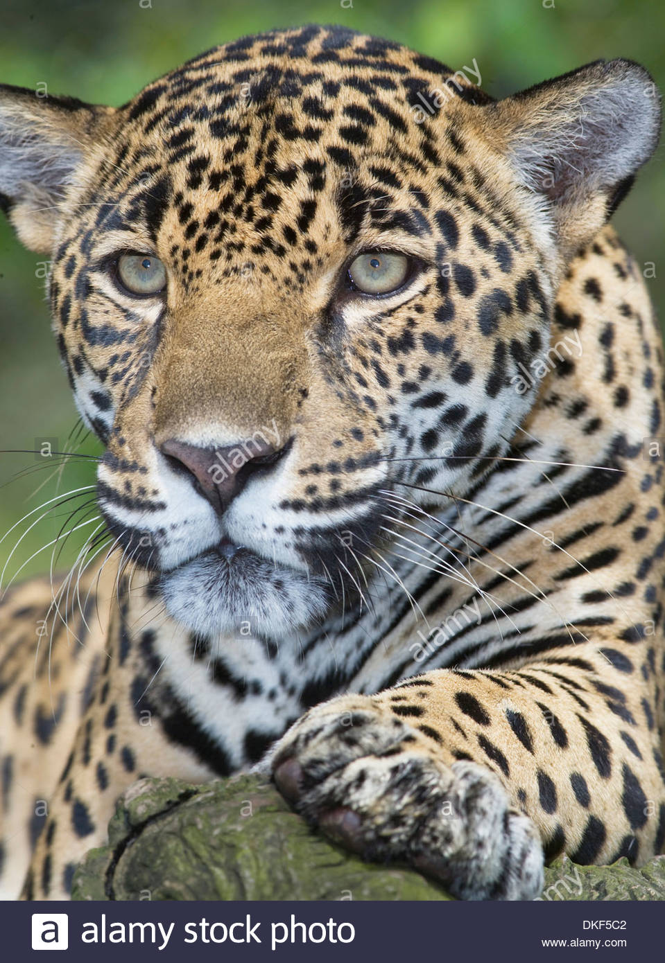 Jaguar San Jose >> Close Up Of Adult Male Jaguar Panthera Onca San Jose