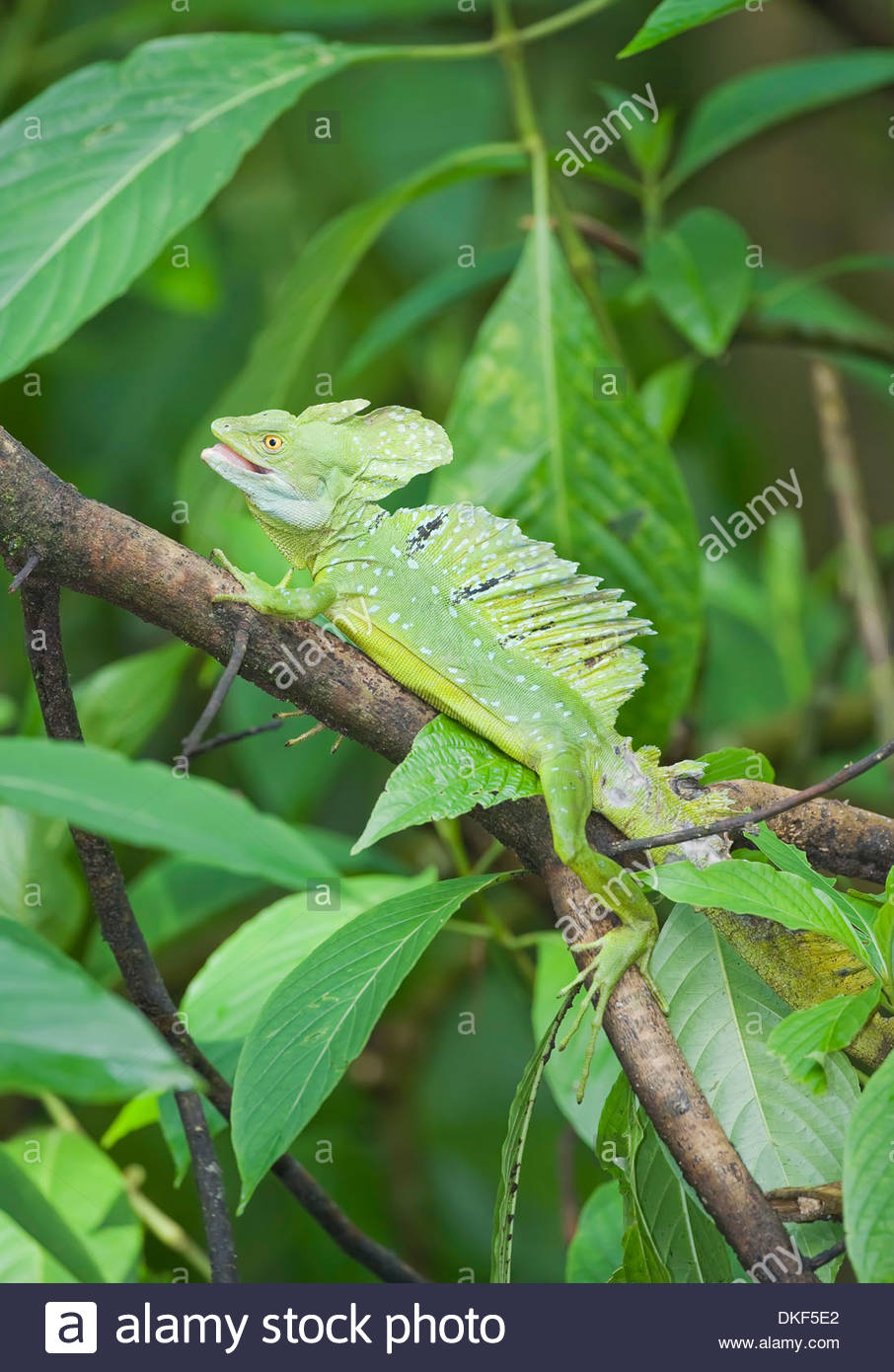 Basilisk lizard (Basiliscus plumifrons) on tree branch, Costa Rica Stock Photo