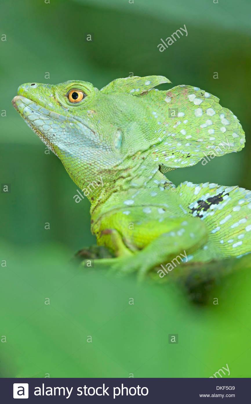 Close up of basilisk lizard (Basiliscus plumifrons), Costa Rica - Stock Image
