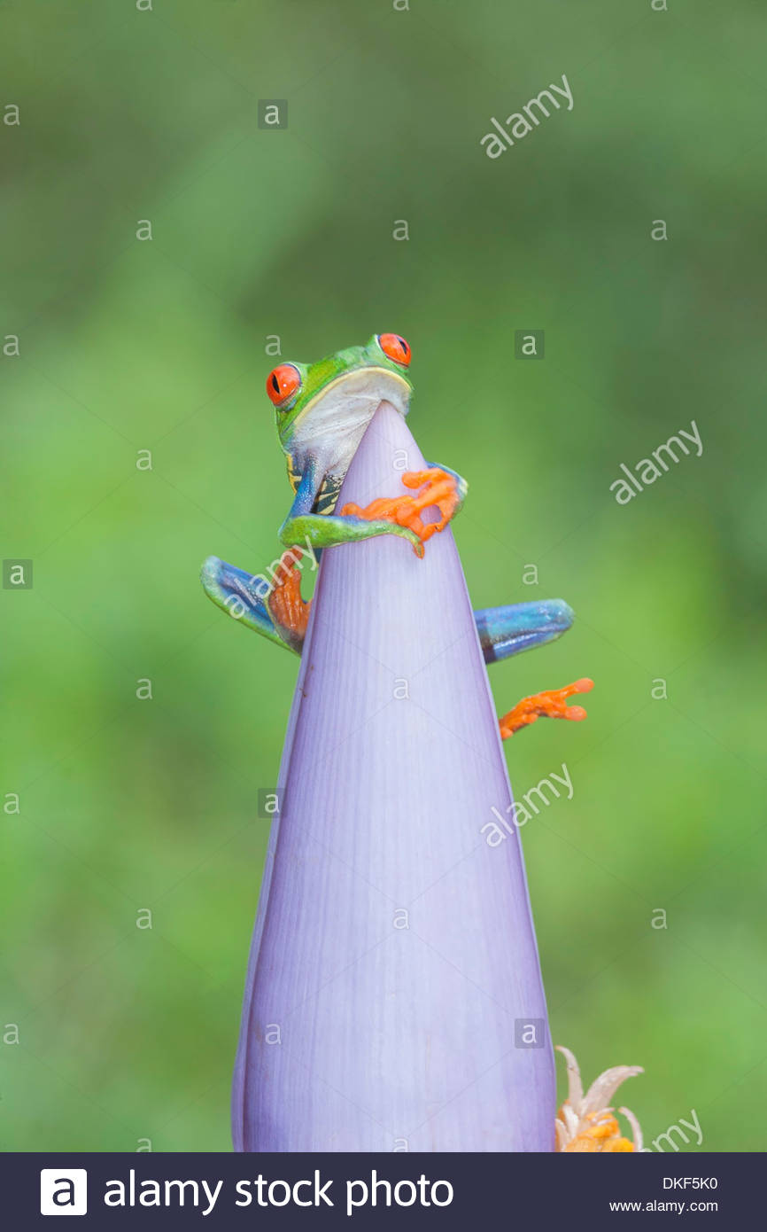 Red-eyed tree (Agalychnis Callidryas) frog on pink flowerhead, Costa Rica - Stock Image