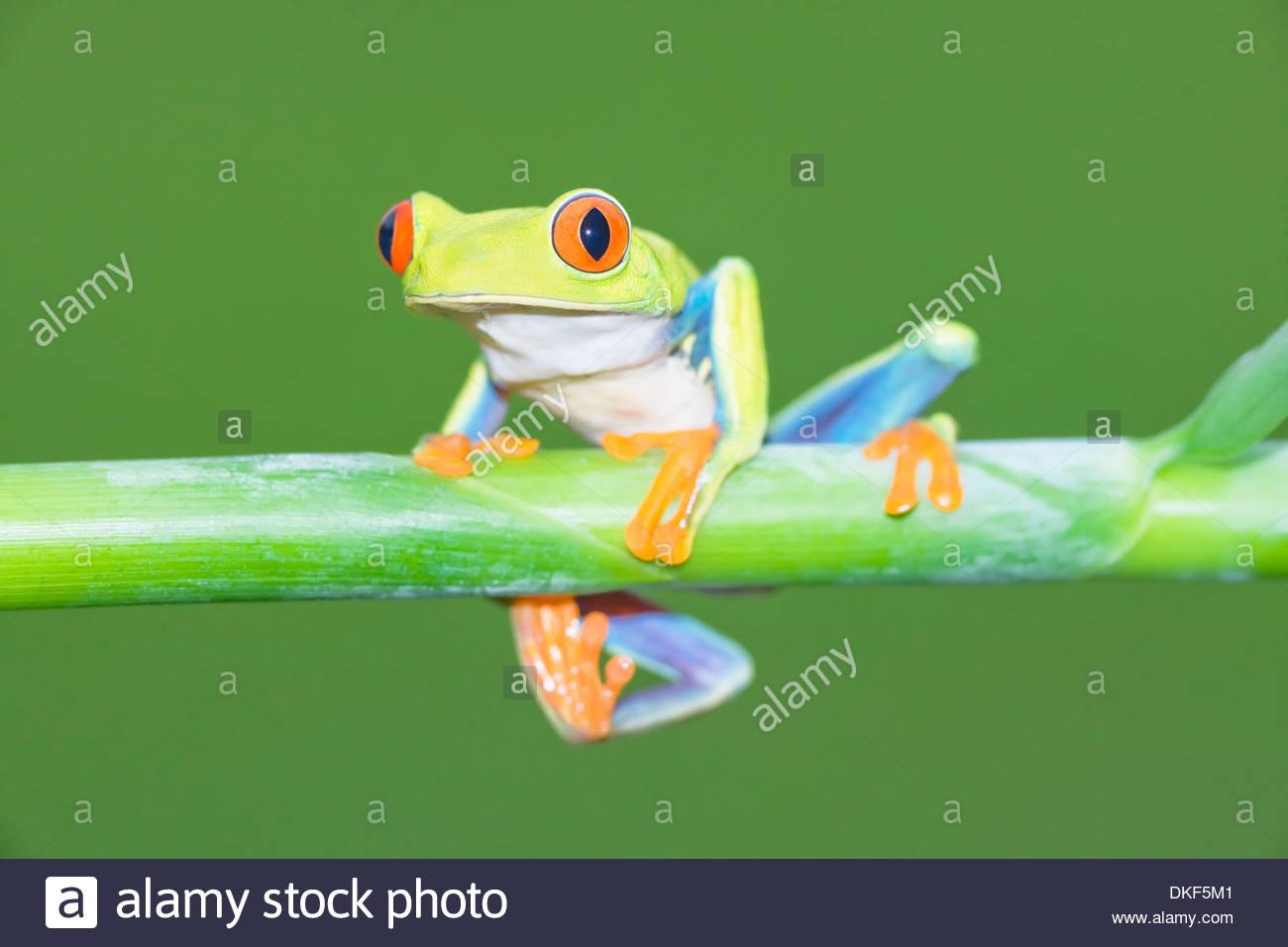 Red-eyed tree frog (Agalychnis Callidryas) on plant stem, Costa Rica Stock Photo