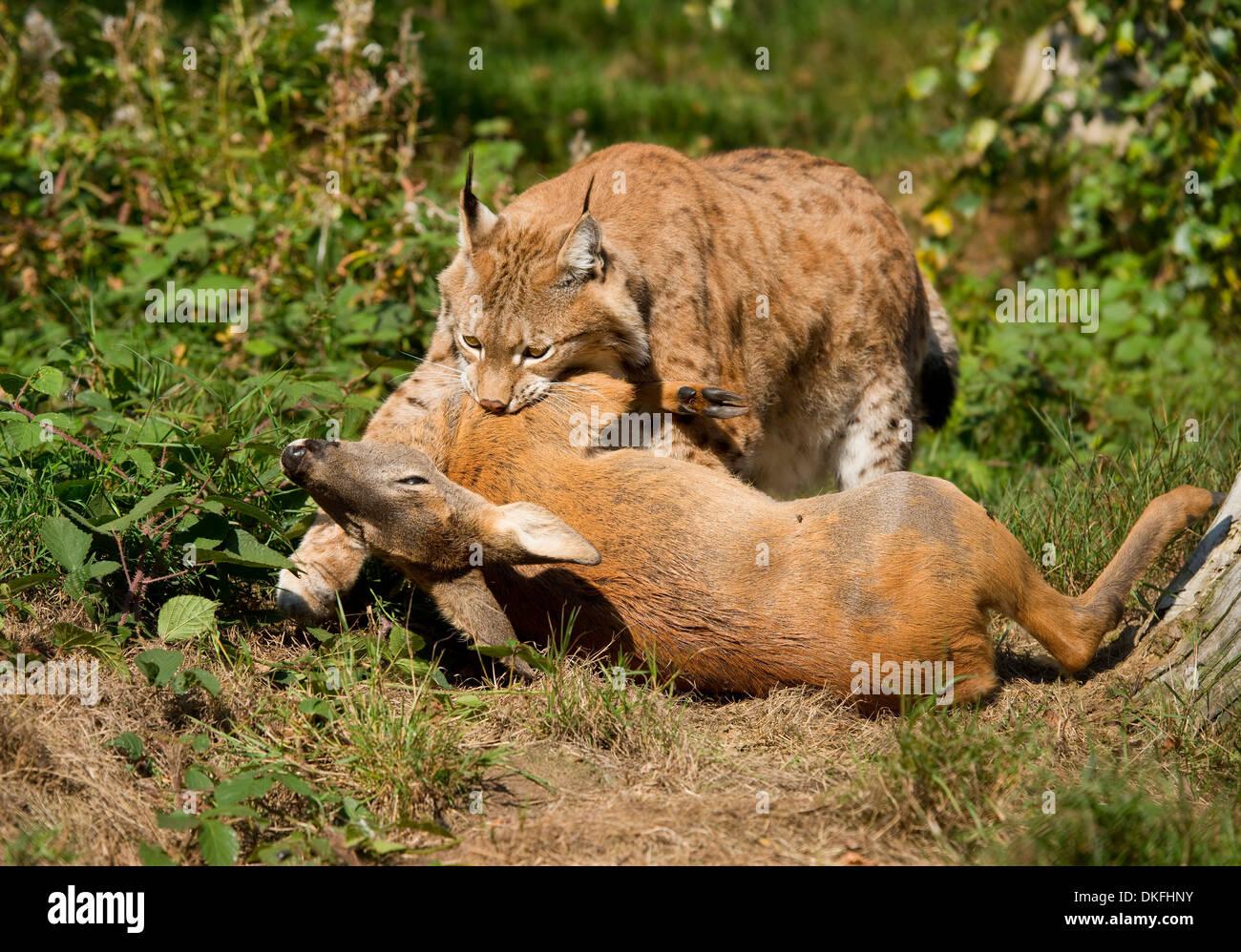 lynx-lynx-lynx-male-with-prey-roe-deer-c