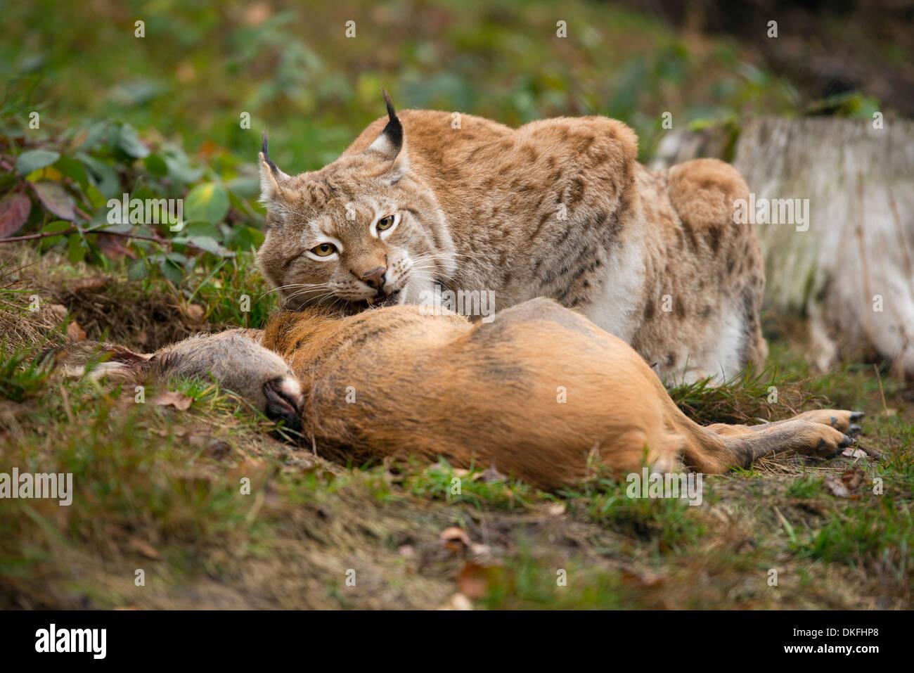 Lynx (Lynx lynx), male, with prey roe deer (Capreolus capreolus), captive, Thuringia, Germany - Stock Image