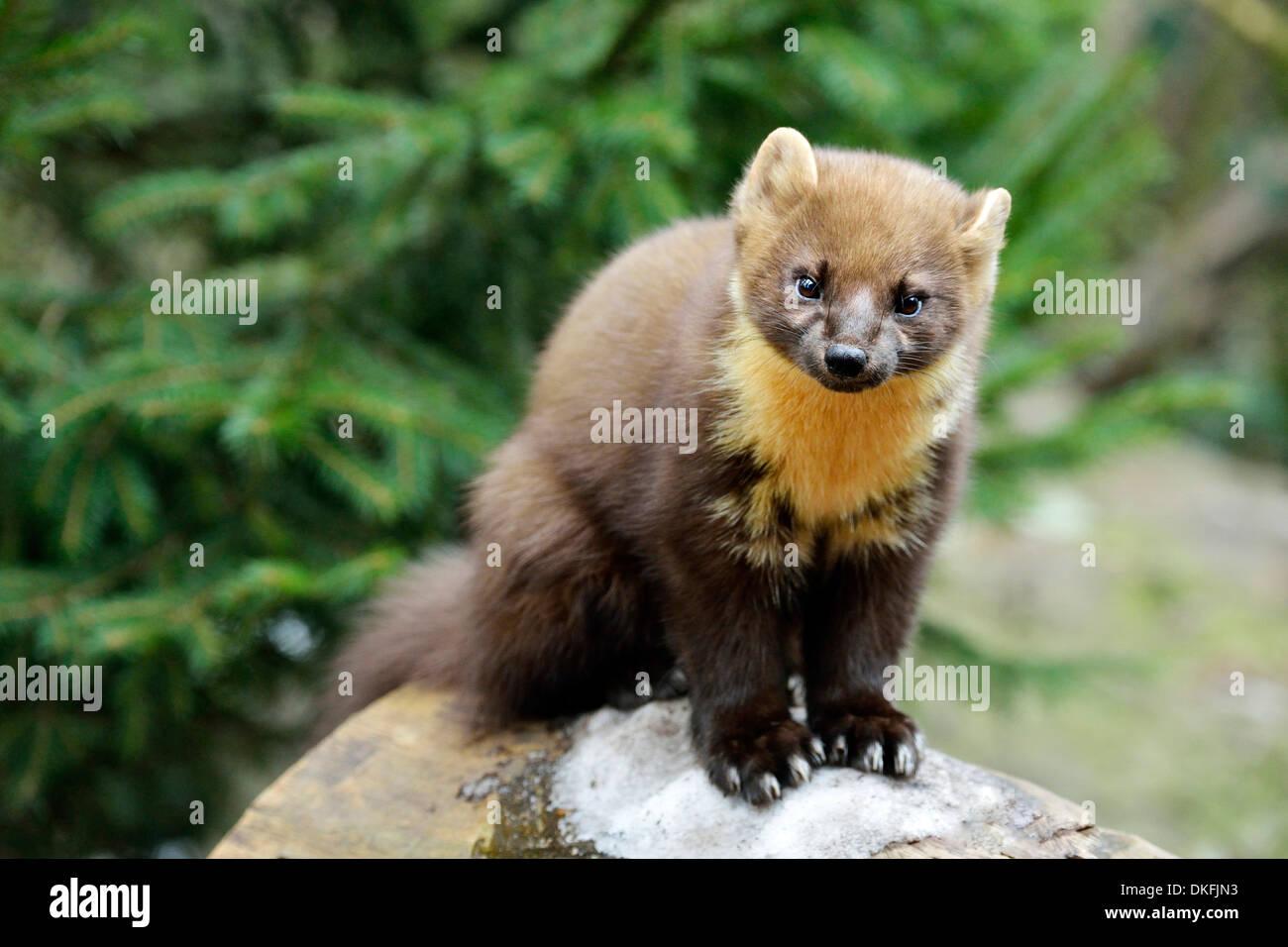 Pine Marten (Martes martes), zoo, Arth Goldau, Switzerland Stock Photo