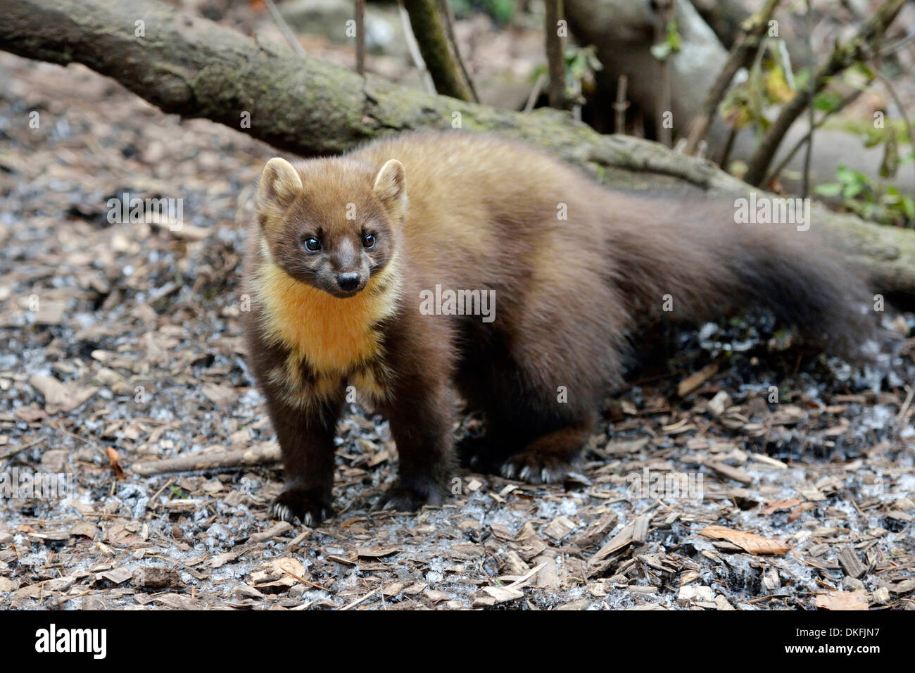 Pine Marten (Martes martes), zoo, Arth Goldau, Switzerland Stock Photo