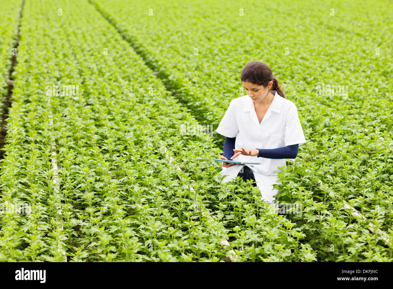 Scientist in rows of plants in greenhouse, holding digital tablet - Stock Image
