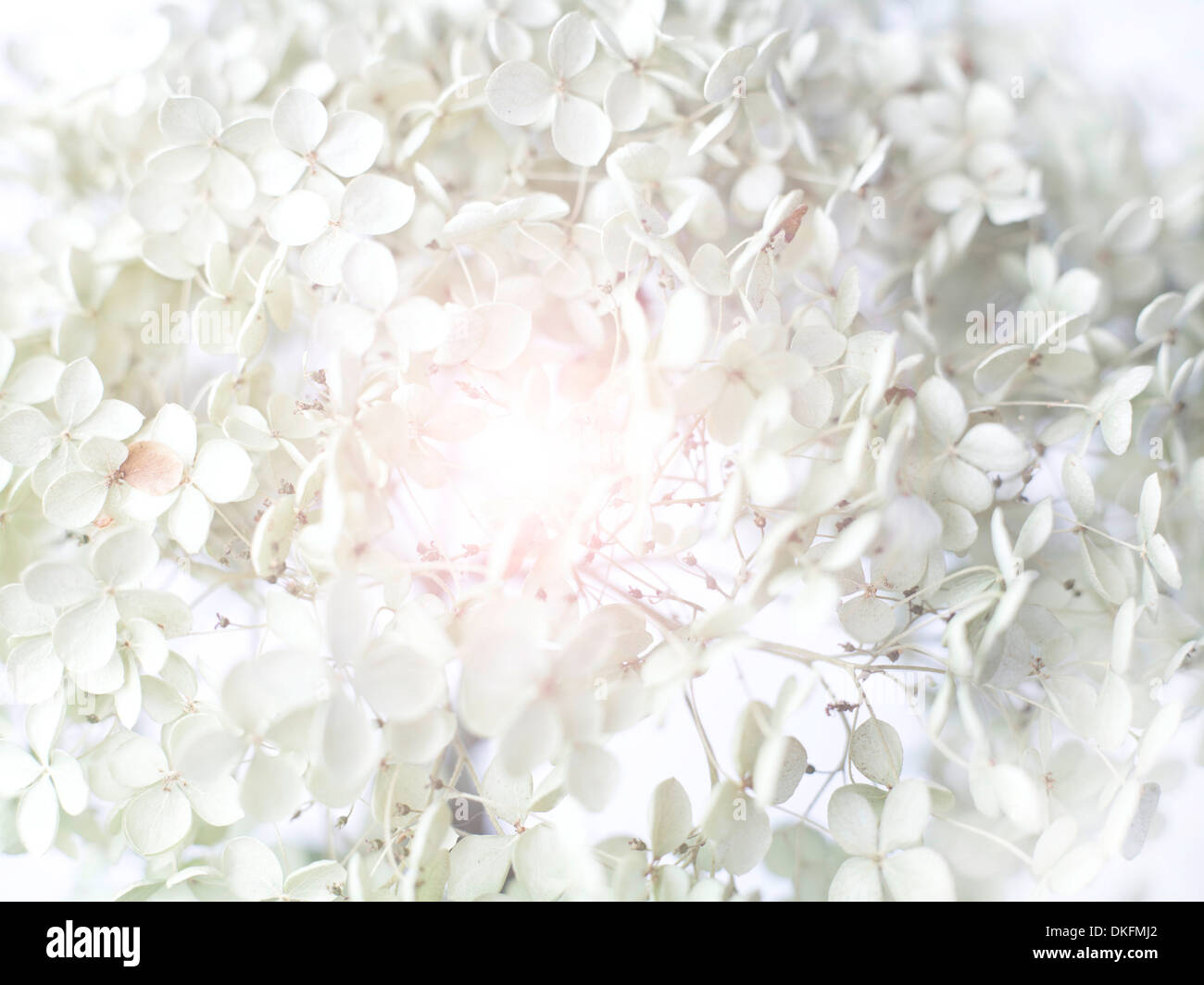White orchid, close-up - Stock Image