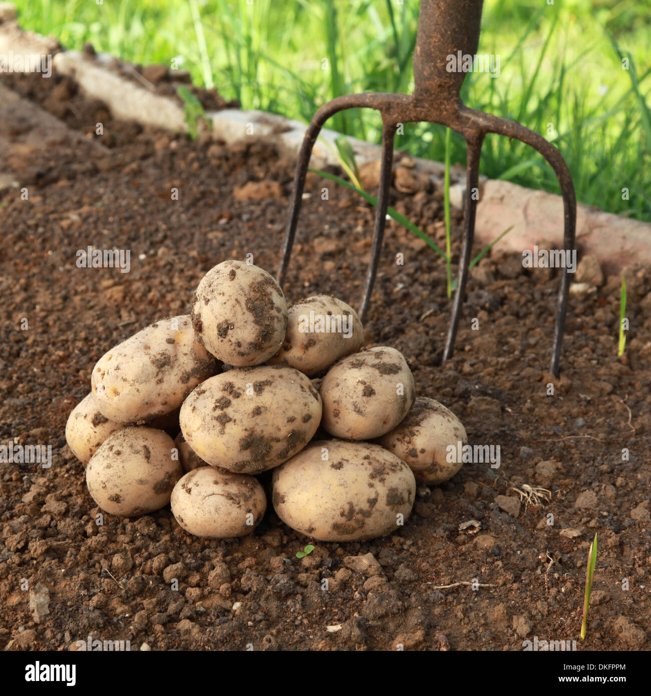 Raw potatoes in the dirt in a vegetable garden Stock Photo: 63656732 ...