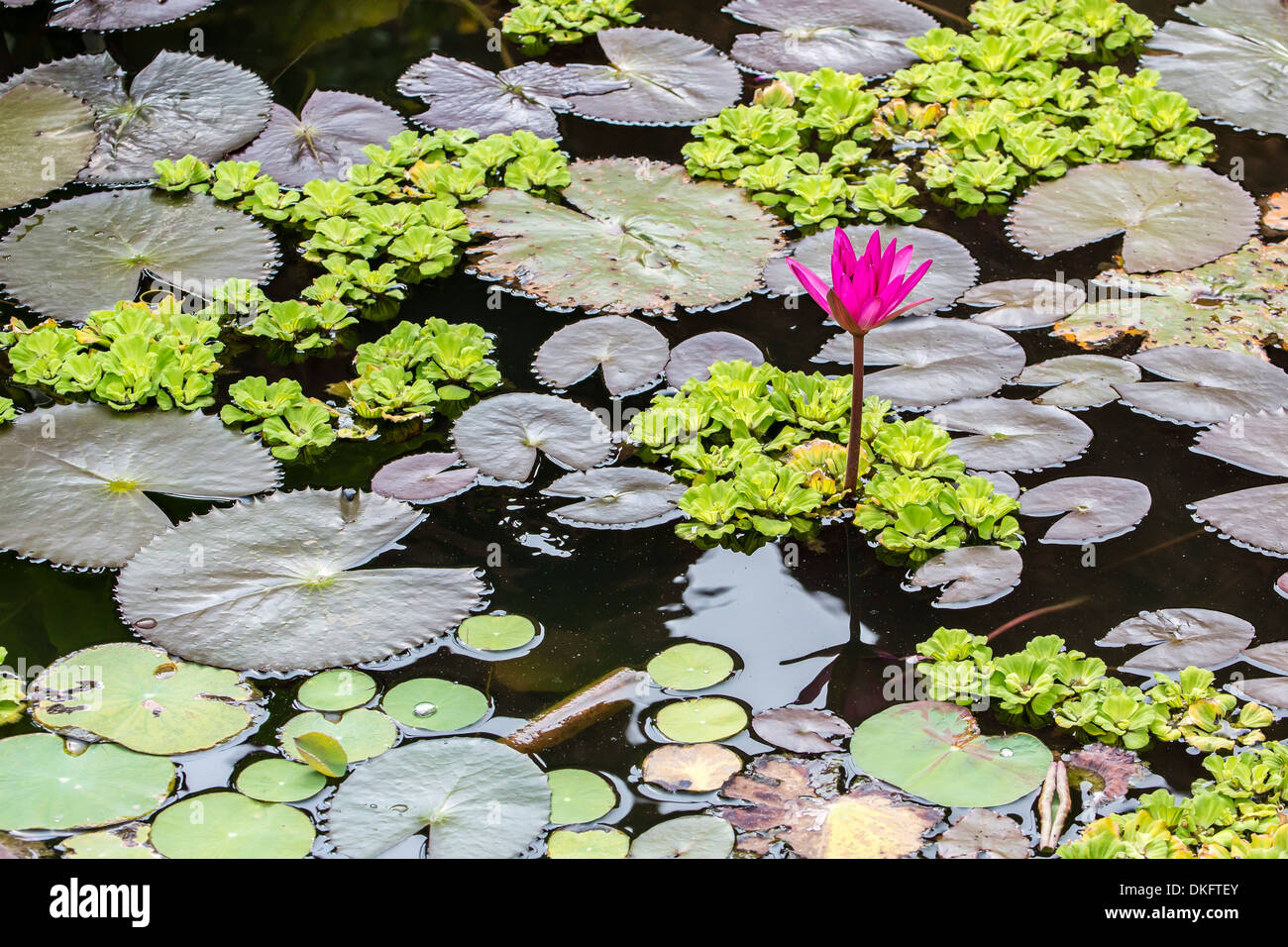 Water-lilies, Nymphaea spp, in Phnom Penh, along the Mekong River, Cambodia, Indochina, Southeast Asia, Asia - Stock Image