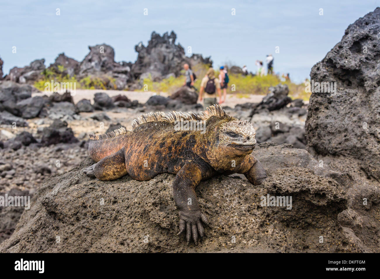 Galapagos marine iguana (Amblyrhynchus cristatus) basking in Urbina Bay, Isabela Island, Galapagos Islands, UNESCO Site, Ecuador - Stock Image