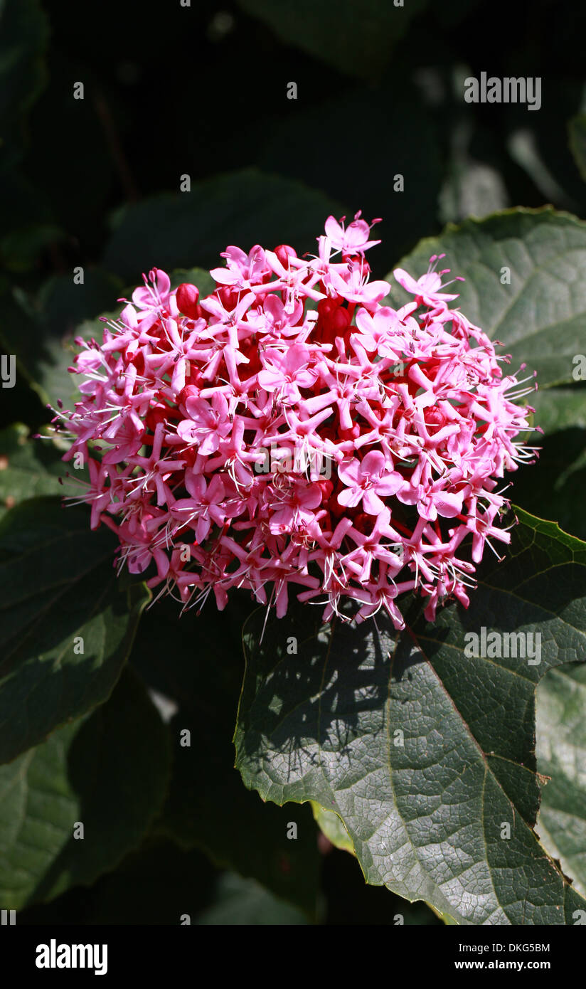 Glory Flower Clerodendrum Bungei Pink Flowers Stock Photos & Glory ...