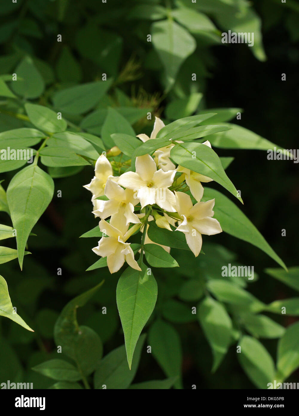 "Jasmine or Jessamine, Poet's Jasmine, Jasminum officinale ""Clotted Cream"", Oleaceae. Syn. Jasminum grandiflorum. Stock Photo"