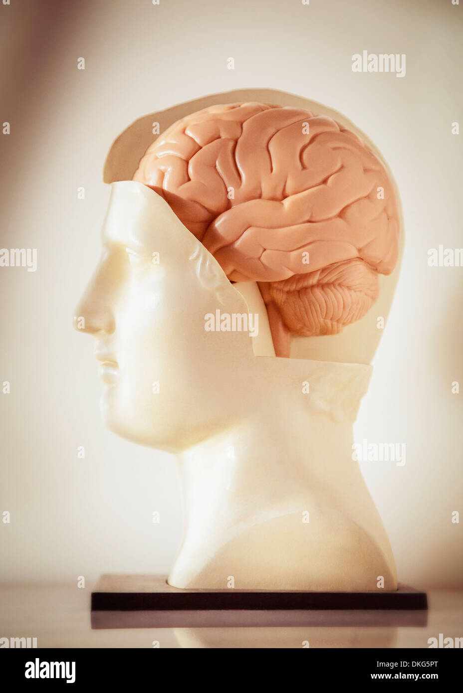 A profile view of an anatomical model of a human brain in a Roman or Greek style statue bust - Stock Image