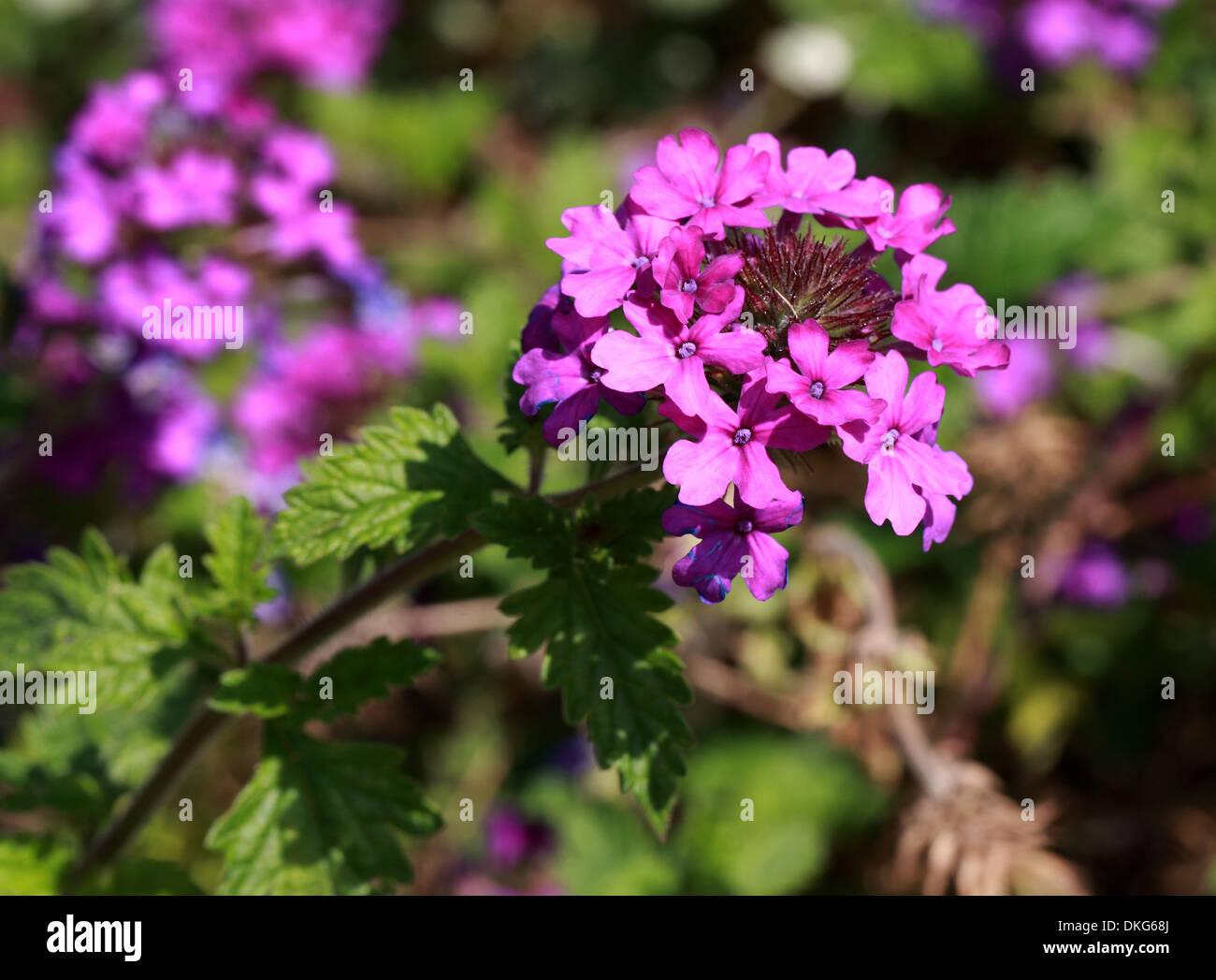 Pink Garden Verbena, Garden Vervain, Verbena X Hybrida, Verbenaceae.