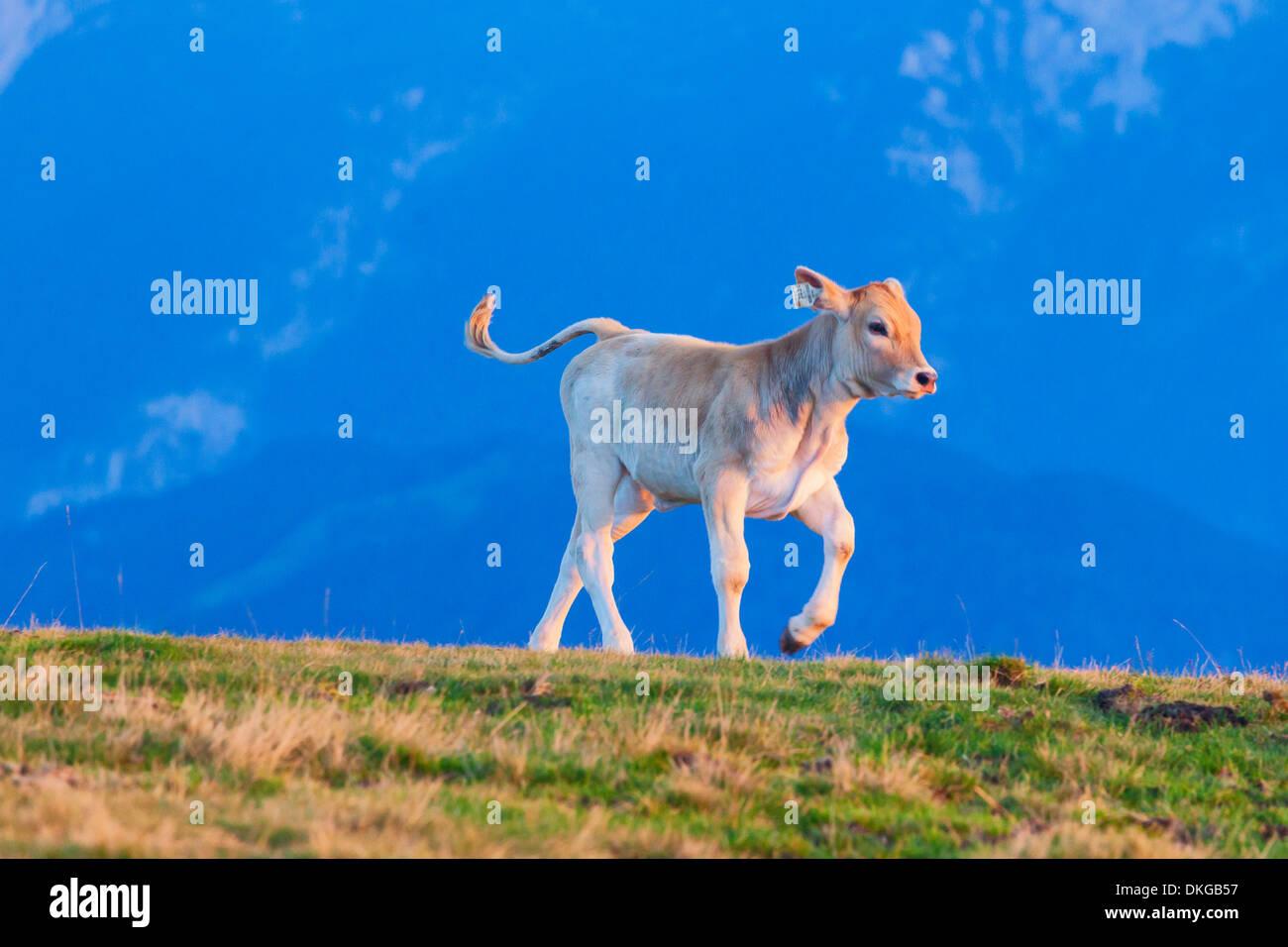 Calf on alpine pasture above the Salzach Valley, Salzburg State, Austria Stock Photo