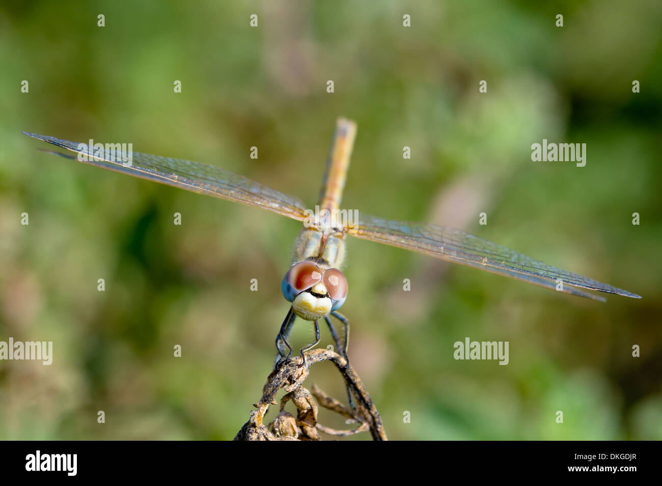 Image of a dragonfly ( sympetrum sp ) accomplished like
