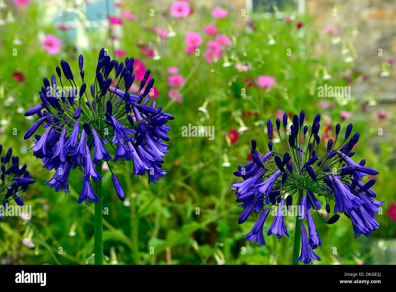 agapanthus africanus Purple Cloud african lily plant portraits flowers flowering perennials purple blue bloom blooming - Stock Image
