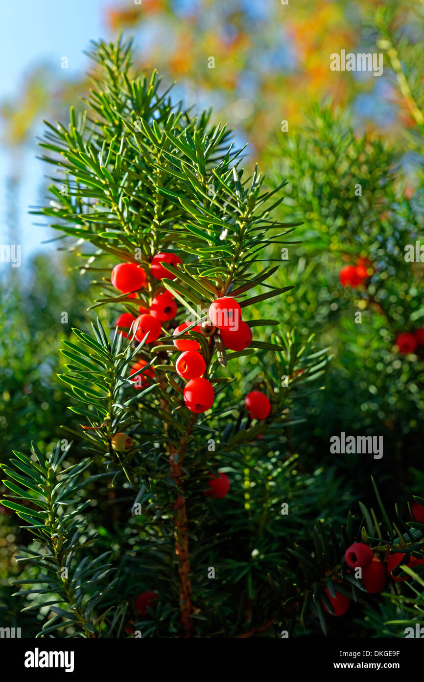 Berries of a yew tree, Nienburg, Lower Saxony, Germany, Europe - Stock Image